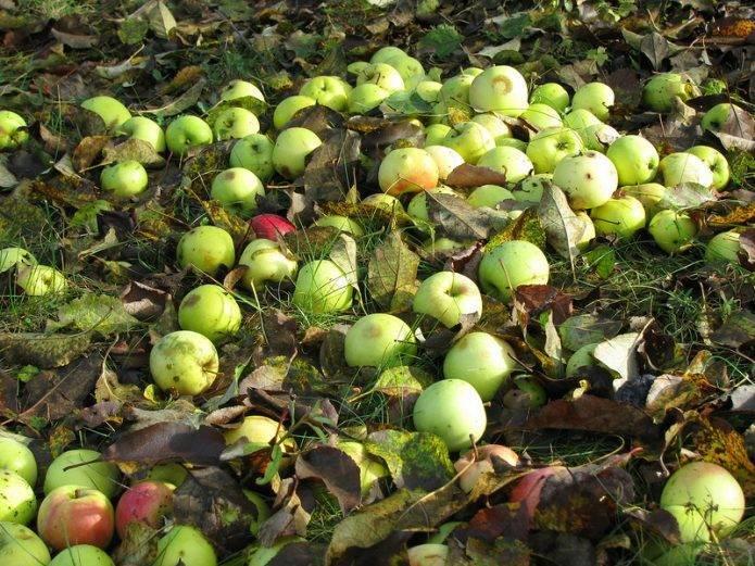 Почему яблоки гниют прямо на дереве: разбираемся в причинах и спасаем урожай