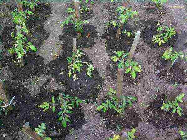 Как ухаживать за помидорами после высадки рассады в открытый грунт