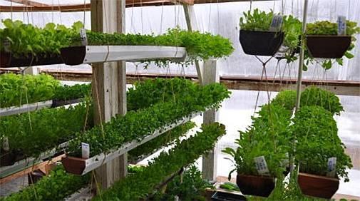 Укроп и петрушка: как вырастить в теплице и добиться хорошей урожайности зимой?