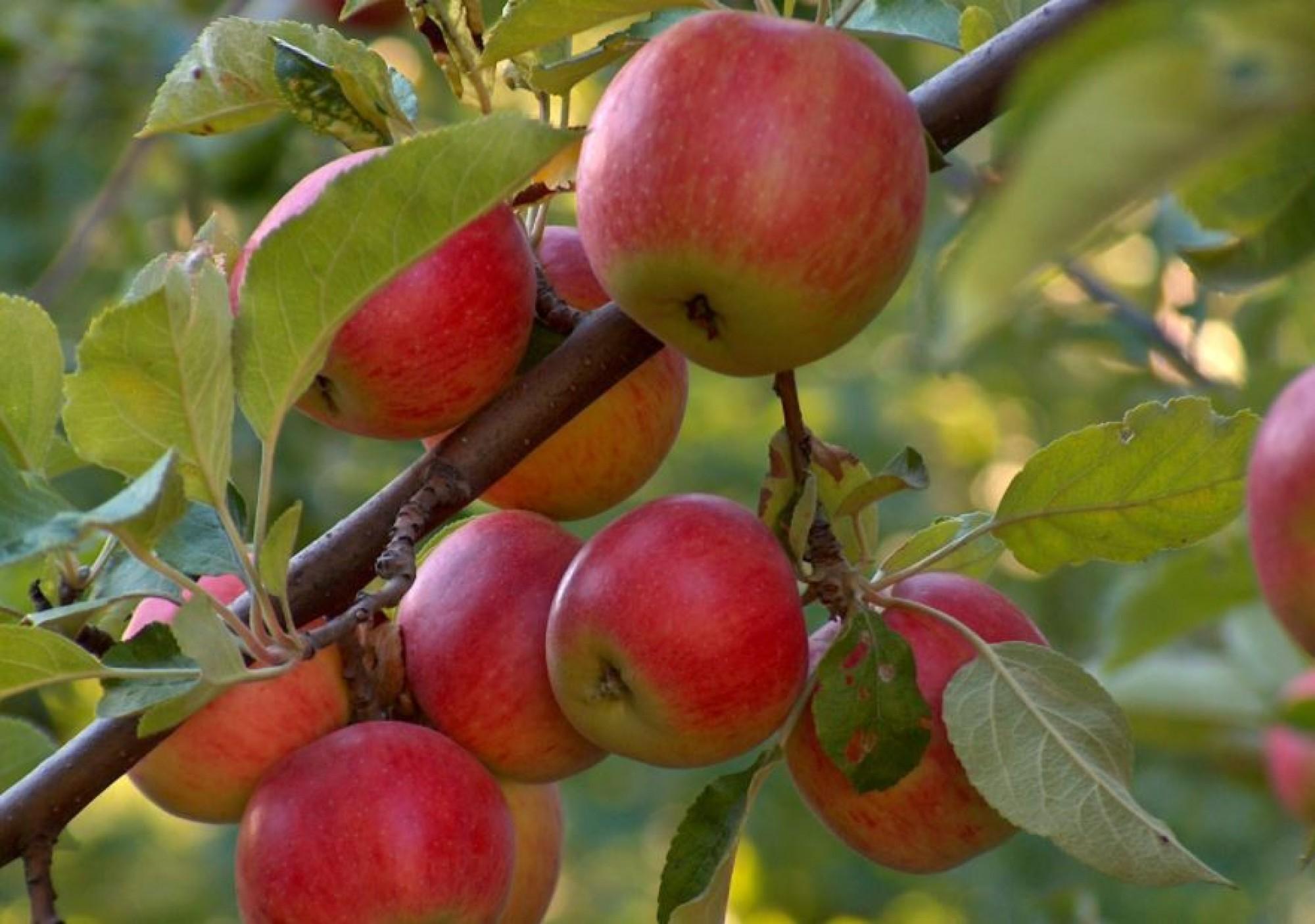 Чем подкормить плодовые деревья