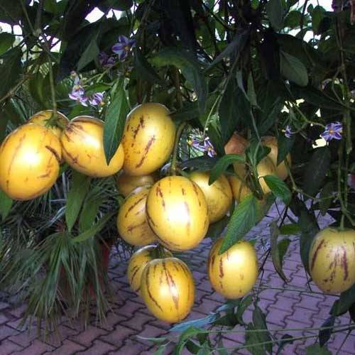 Пепино: что это за растение — как вырастить пепино на даче