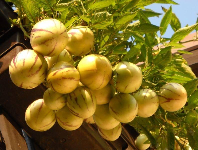 Выращивание экзотического плода пепино на даче или в квартире. особенности посадки и ухода