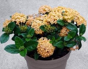 Иксора цветок — посадка и уход, виды, фото, видео
