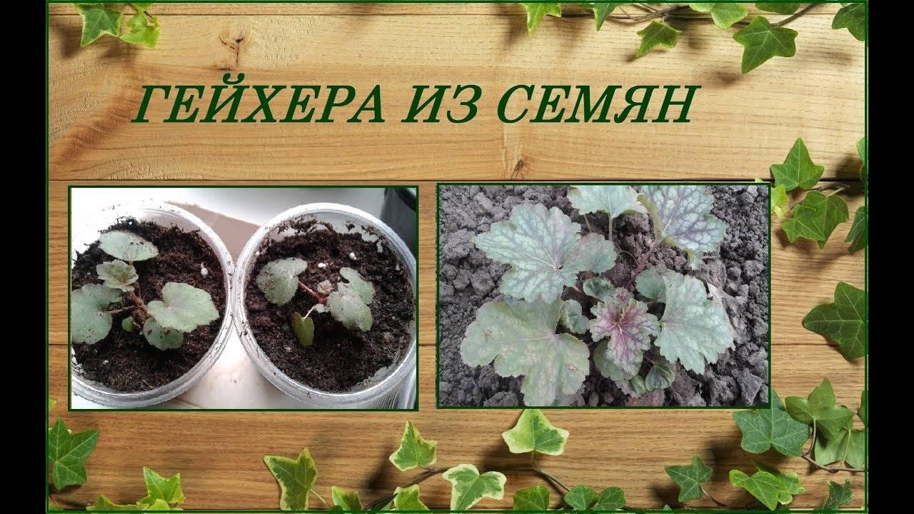 Как вырастить гейхеру из семян?