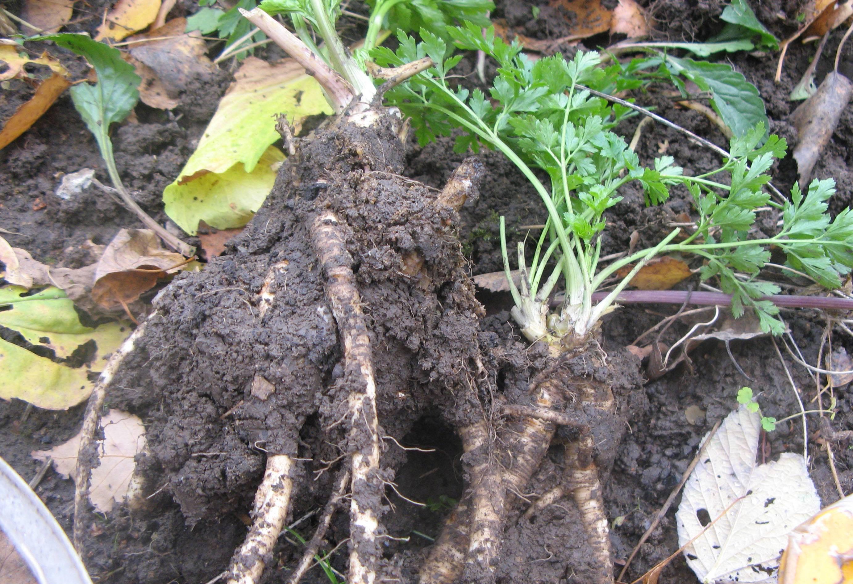 Выращивание зелени зимой в теплице видео