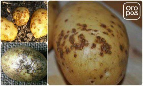 Устойчивые к болезням сорта картофеля (фото и описания)