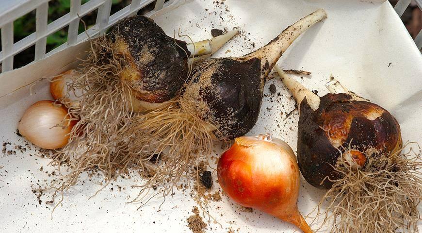 Луковицы тюльпанов: особенности посадки и хранения