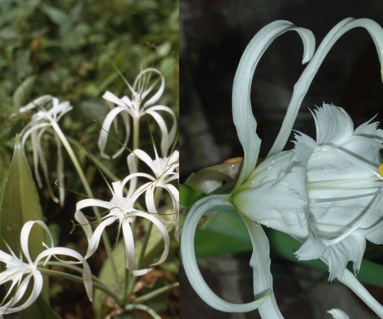 Гименокаллис: лучшие виды, уход за цветком