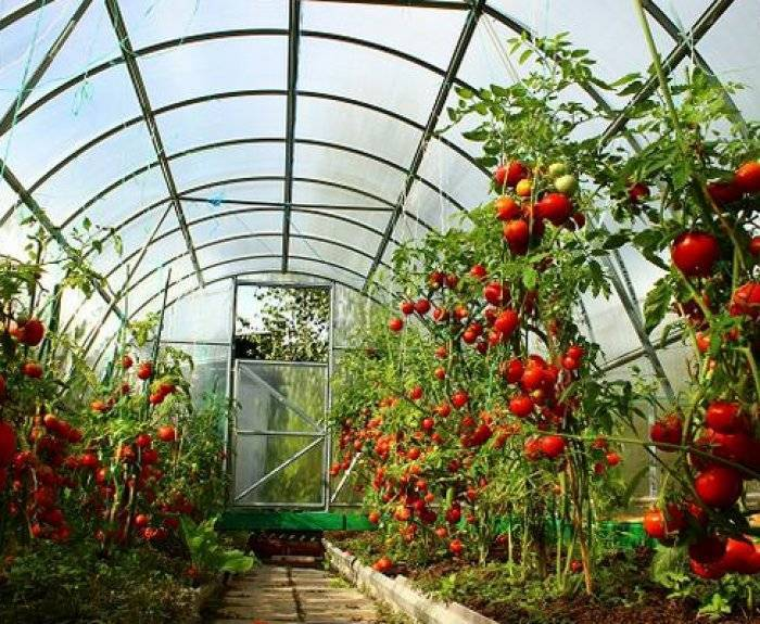 Правильная посадка помидор в теплицу из поликарбоната: когда высаживать и как сажать