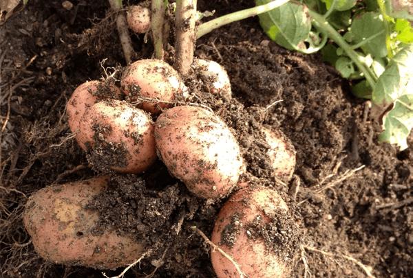 Как распознать болезни картофеля и бороться с ними?