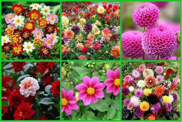 Георгины — 109 фото роскошного украшения любого сада