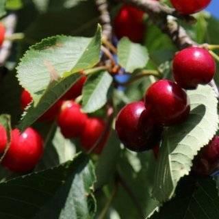 Сладкая ягодка — вишня Тургеневка