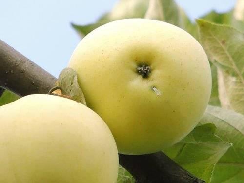 Яблоки сортов уральской и канадской селекции для садов Сибири, виды