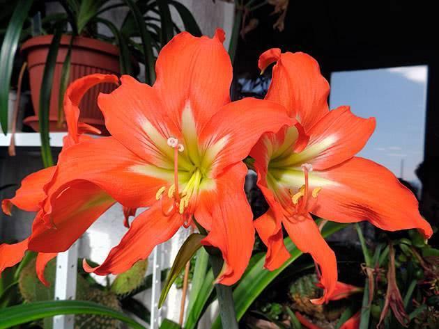 Как заставить цвести гиппеаструм в домашних условиях