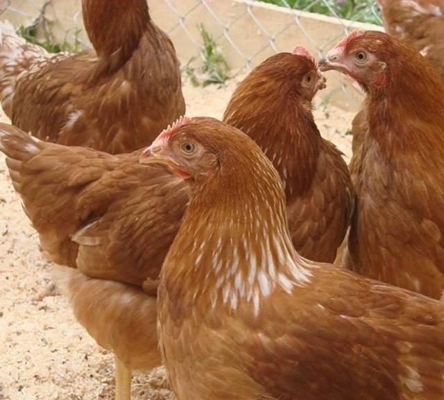 Редбро: порода кур