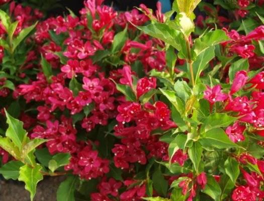 Калина – любимица садоводов. посадка и уход за растением.