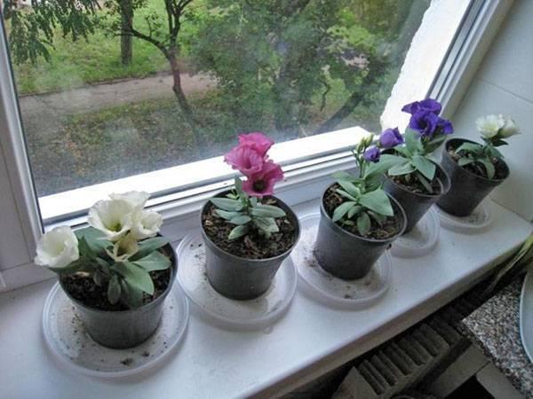Эустома: цветок для выращивания в саду и в горшке. уход и размножение, произрастание в домашних условиях