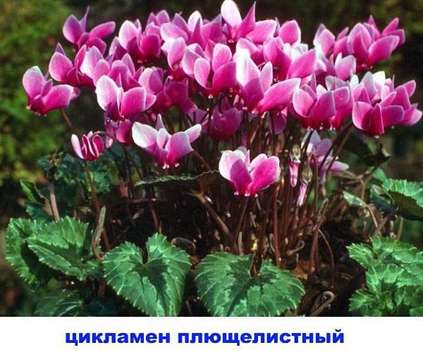 Цикламен пурпурный (европейский)