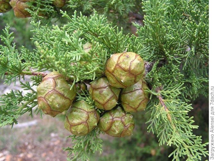 Кипарис из семян — как выбрать посадочный материал, посадка, видео