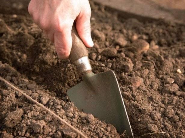 Кинза – выращивание дома и в дачных условиях