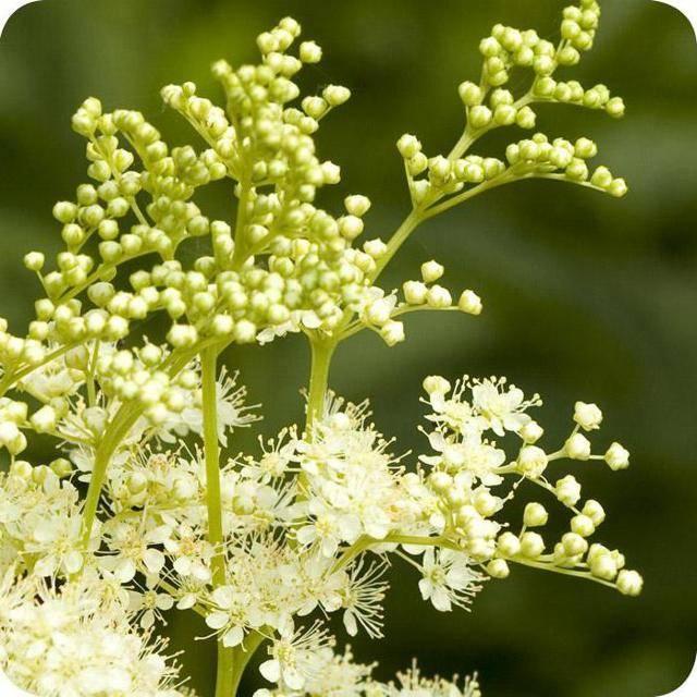 Цветки липы: полезные свойства, противопоказания, польза и вред