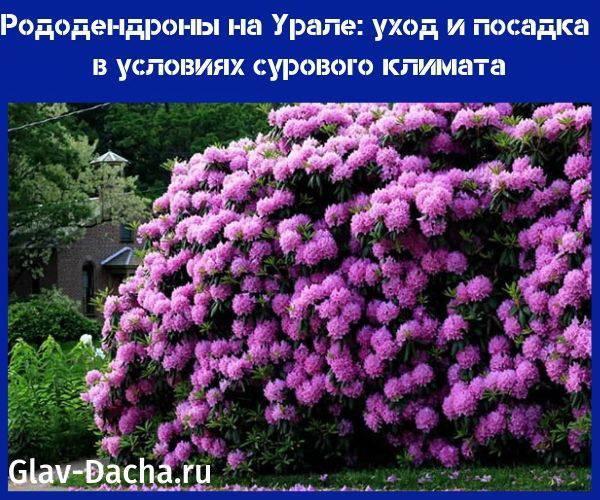 Рододендроны на Урале - уход и посадка, выбор сортов, зимовка