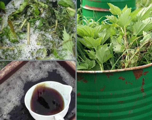 Мангольд: выращивание и уход