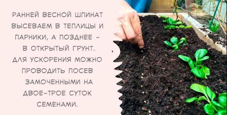 Посадка шпината: основные способы и полезные советы