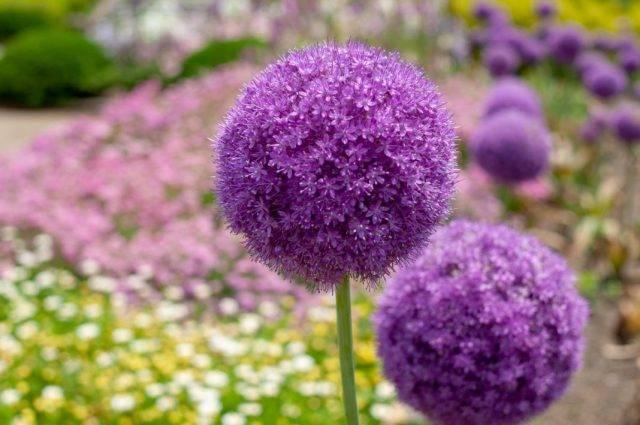 Гелиптерум или акроклинум выращивание из семян посадка и уход в открытом грунте фото видов