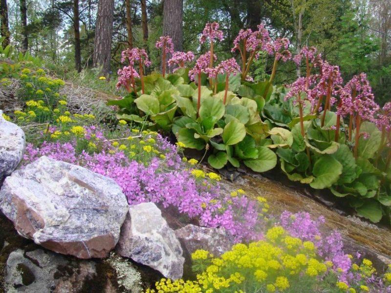 Выращиваем бадан: уход с весны до осени и от посева семенами до деления куста