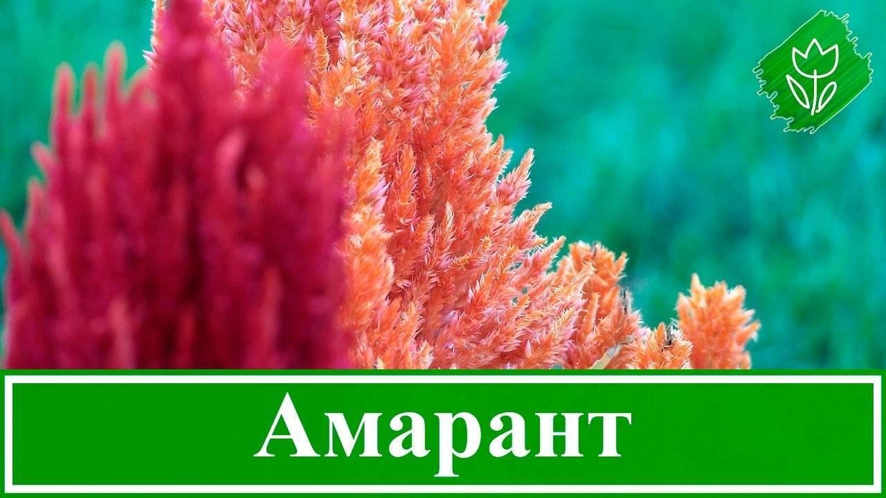 Сорта амаранта: особенности и применение