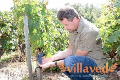Удобрение плантафол для подкормки винограда, видео